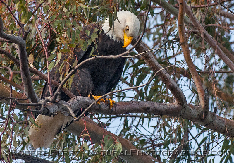 Adult bald eagle looking down from tree branch above road.