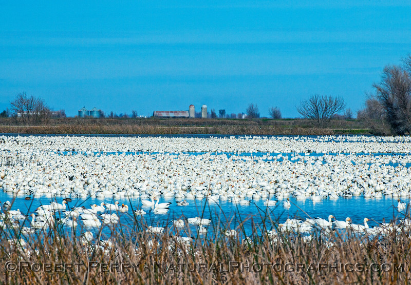 Snow geese - one of many ponds.