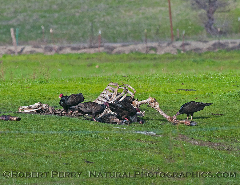 Dead cow bones with turkey vultures