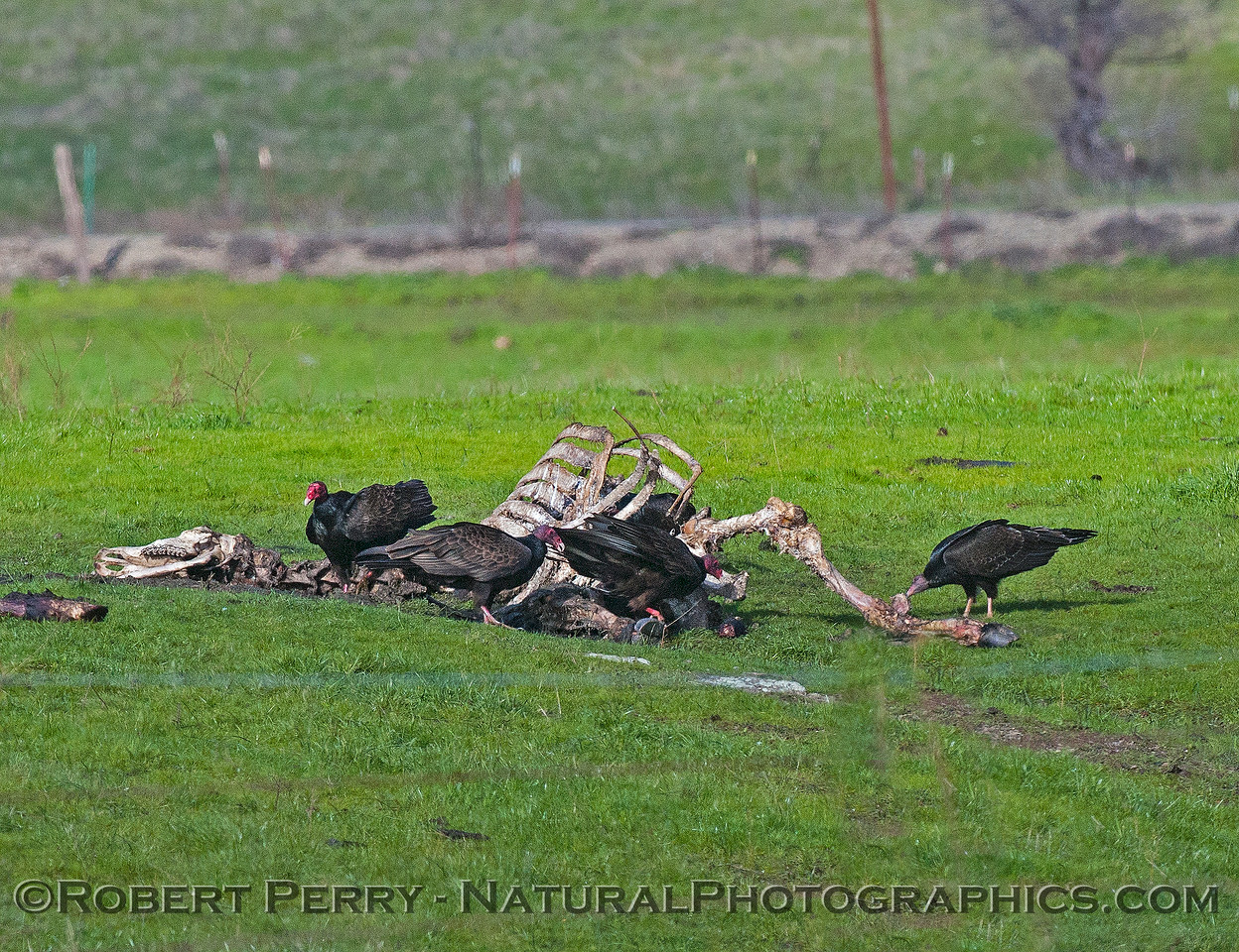 Dead cow bones with turkey vultures