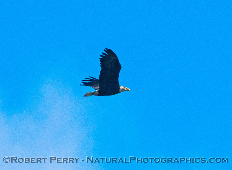 One of two bald eagles in flight.