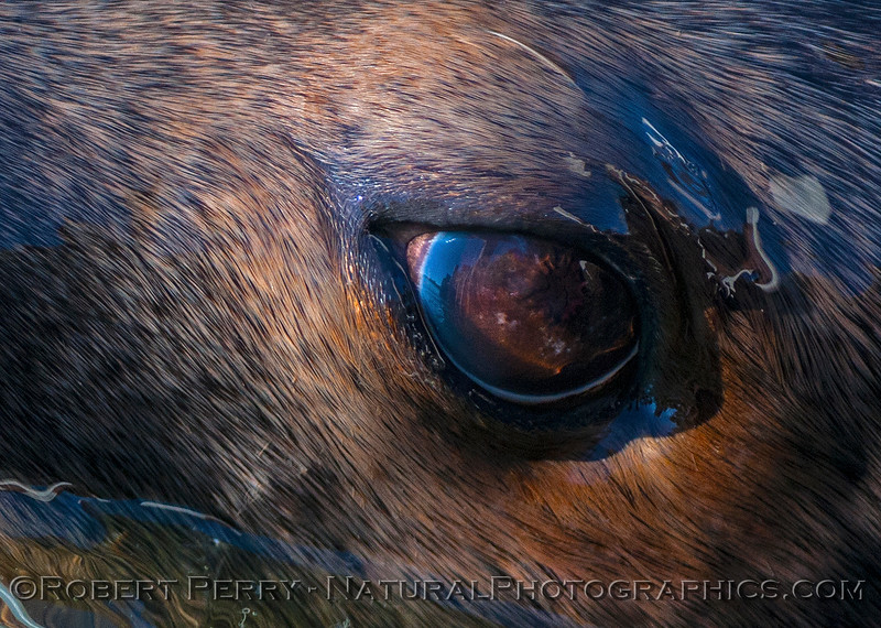 Close up view of a California male sea lion's eye