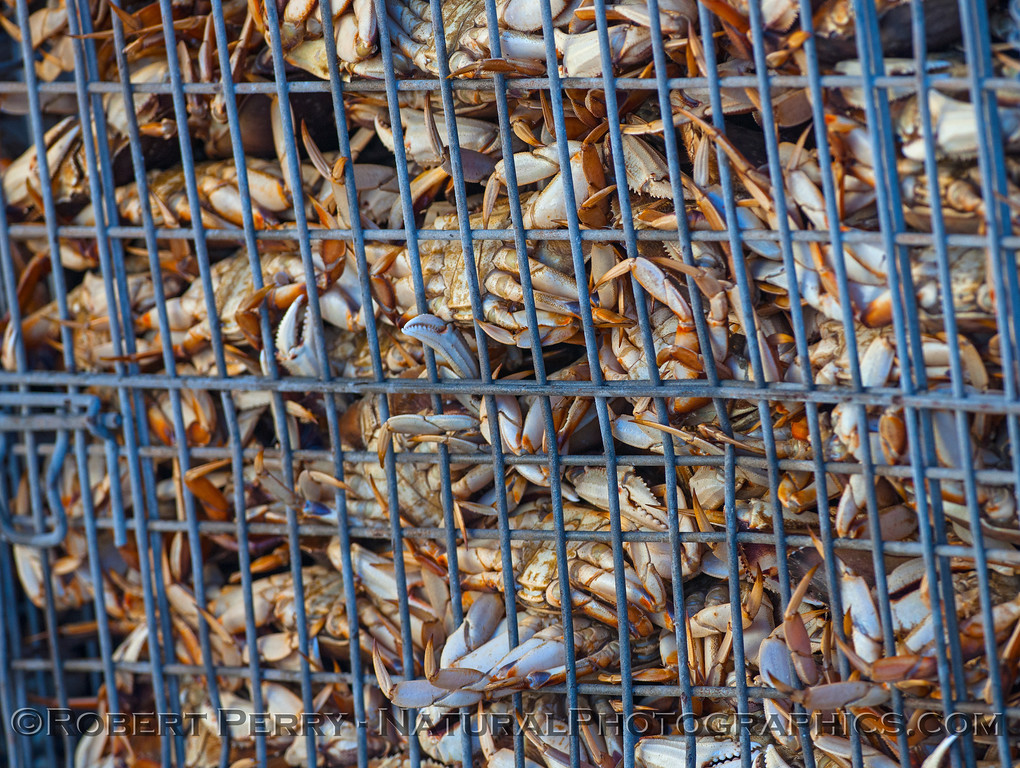 Dungeness crabs at the dock