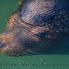 California sea lion - male - eyeball under water