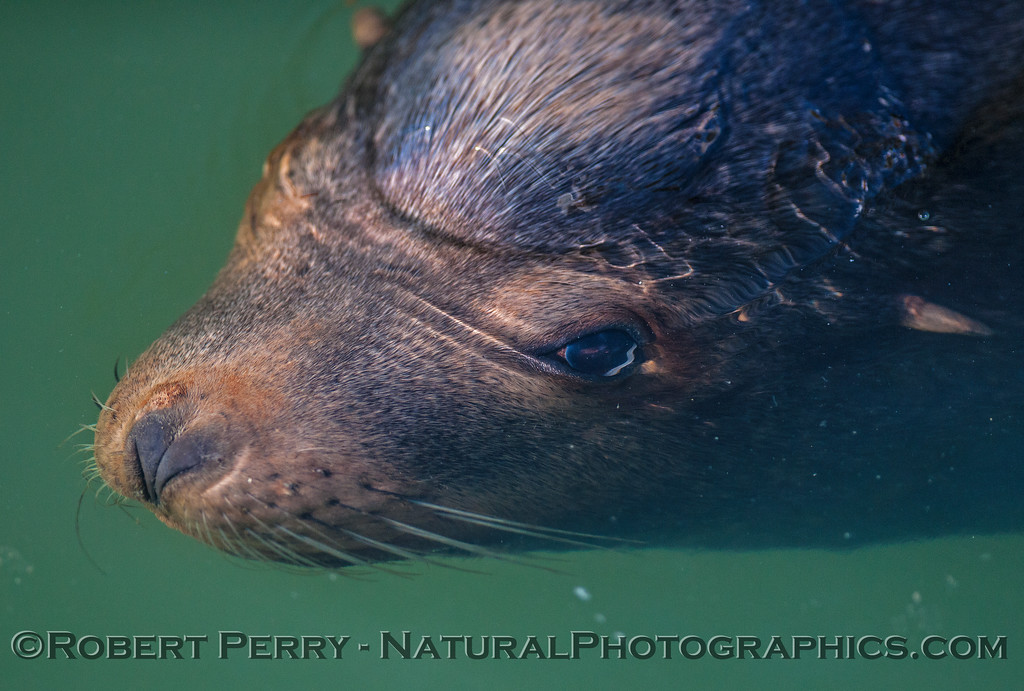 California sea lion - male - eyeball under water