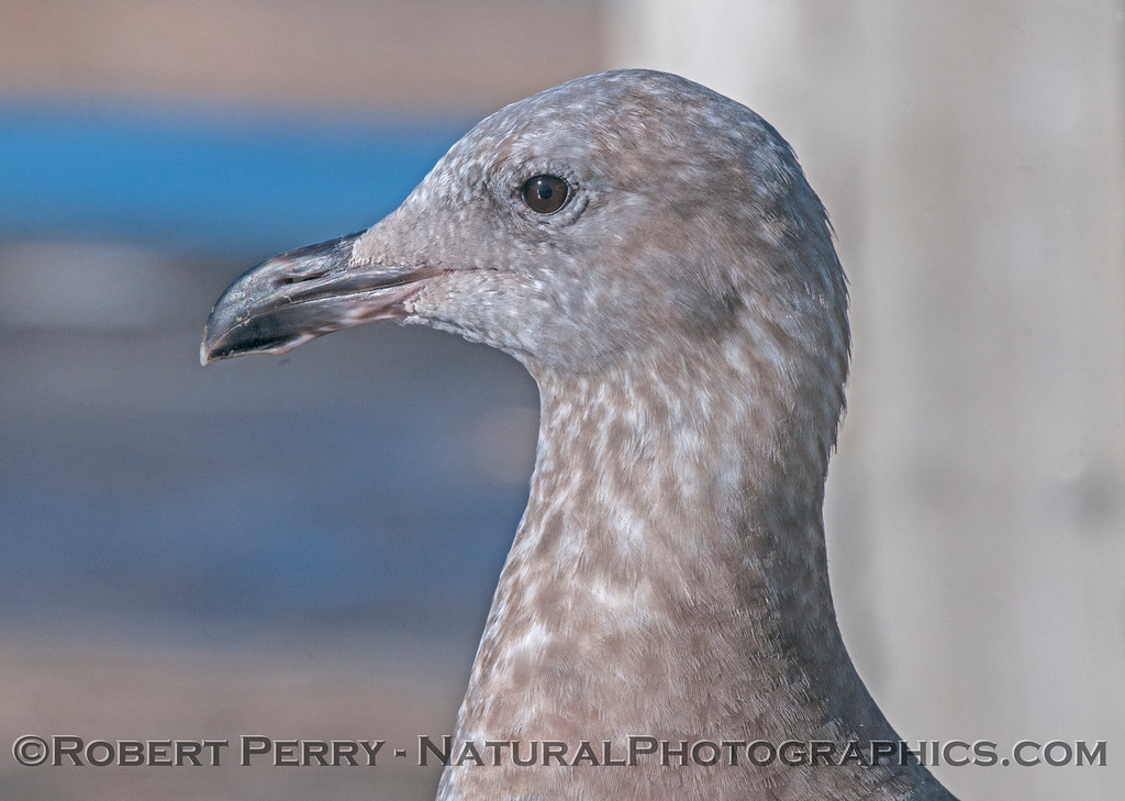 Juvenile western gull - head and eyeball