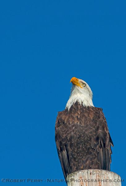 Bald eagle - Bodega Bay