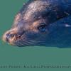 California sea lion - male - eyeball half under water