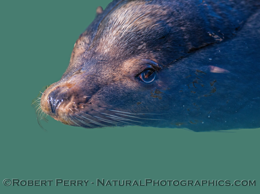 California sea lion - male - eyeball half under water
