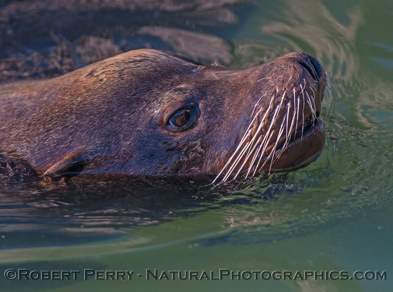 California sea lion - male