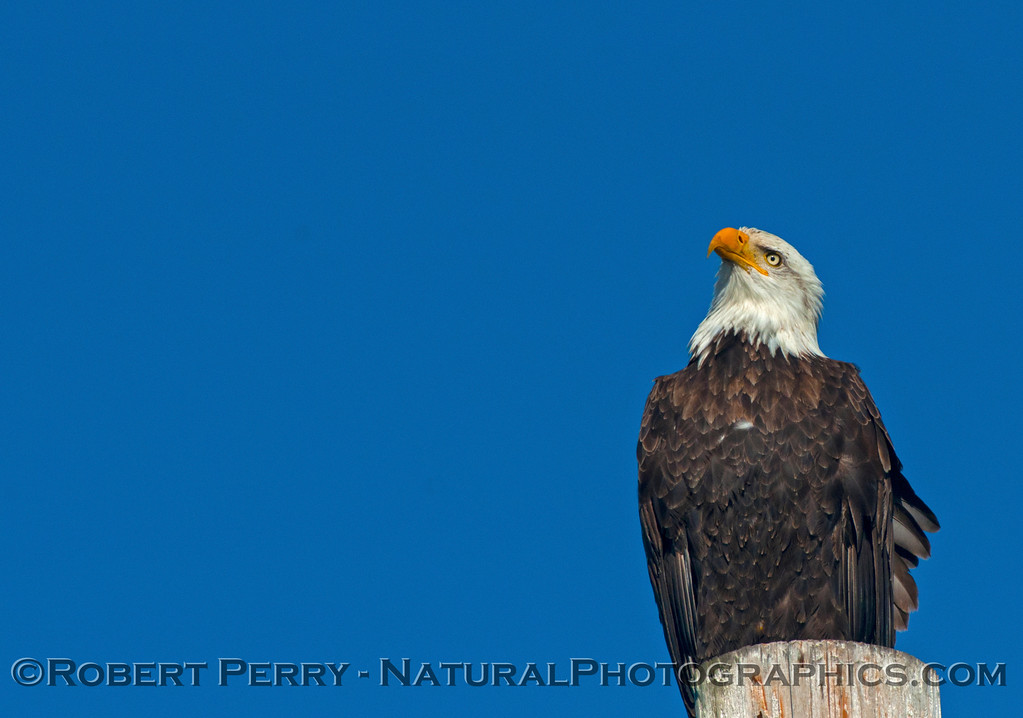 Bald eagle - Bodega Bay
