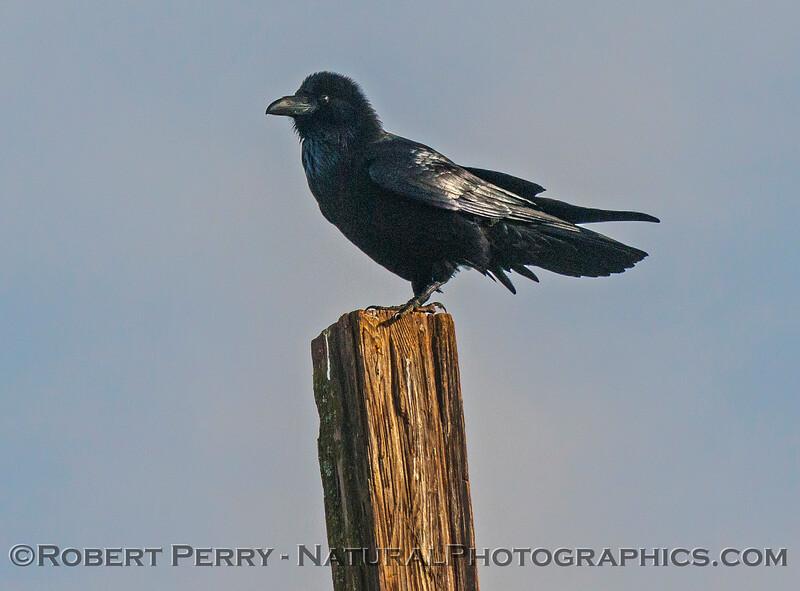 Raven on fence post.