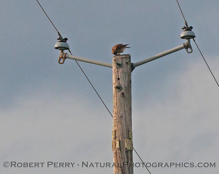 American kestrel apparently feeding on top of a telephone pole.