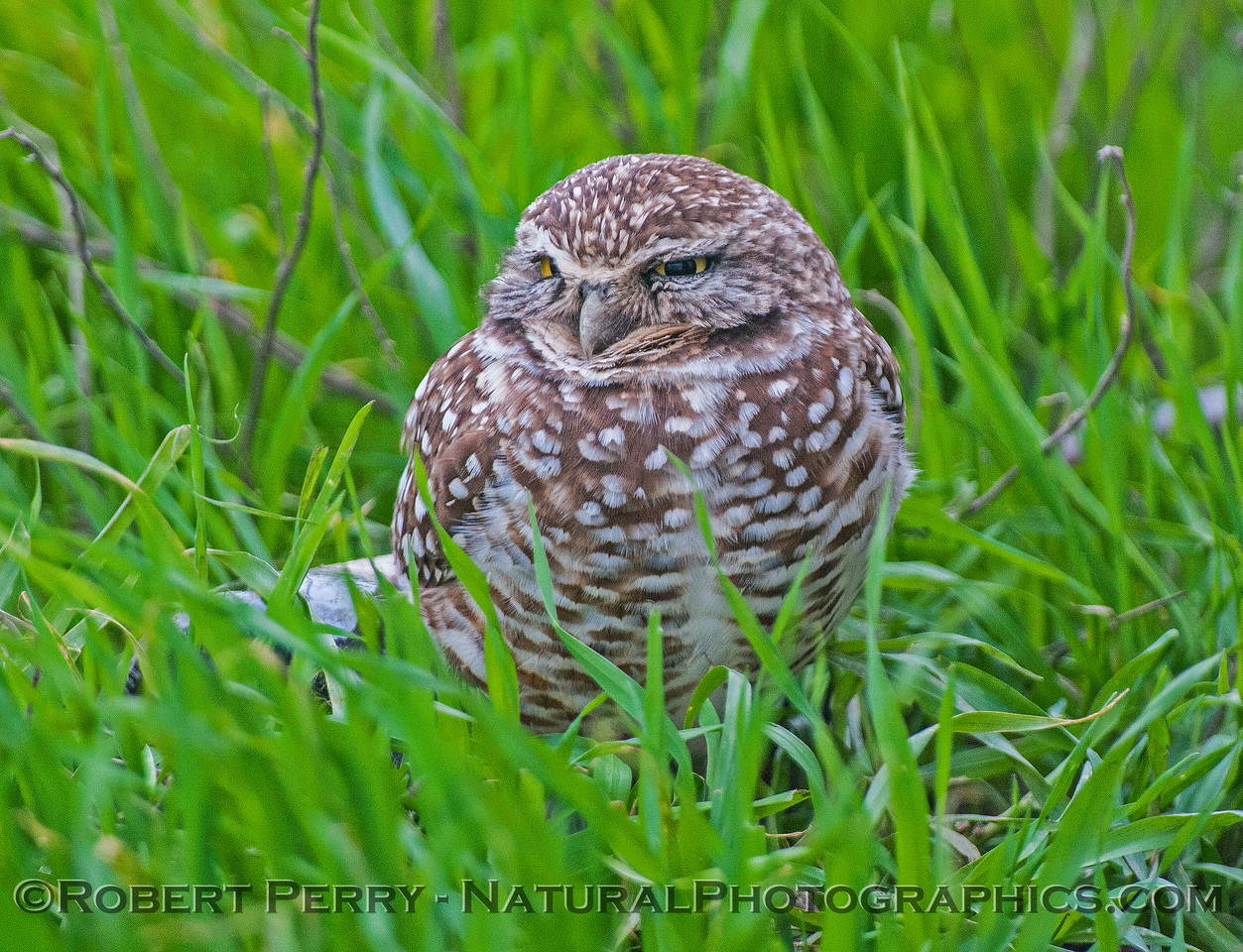 A drowsy owl in the grass.