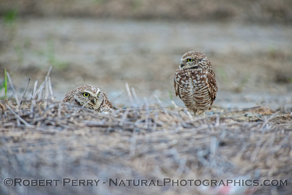 Two owls on the ground.