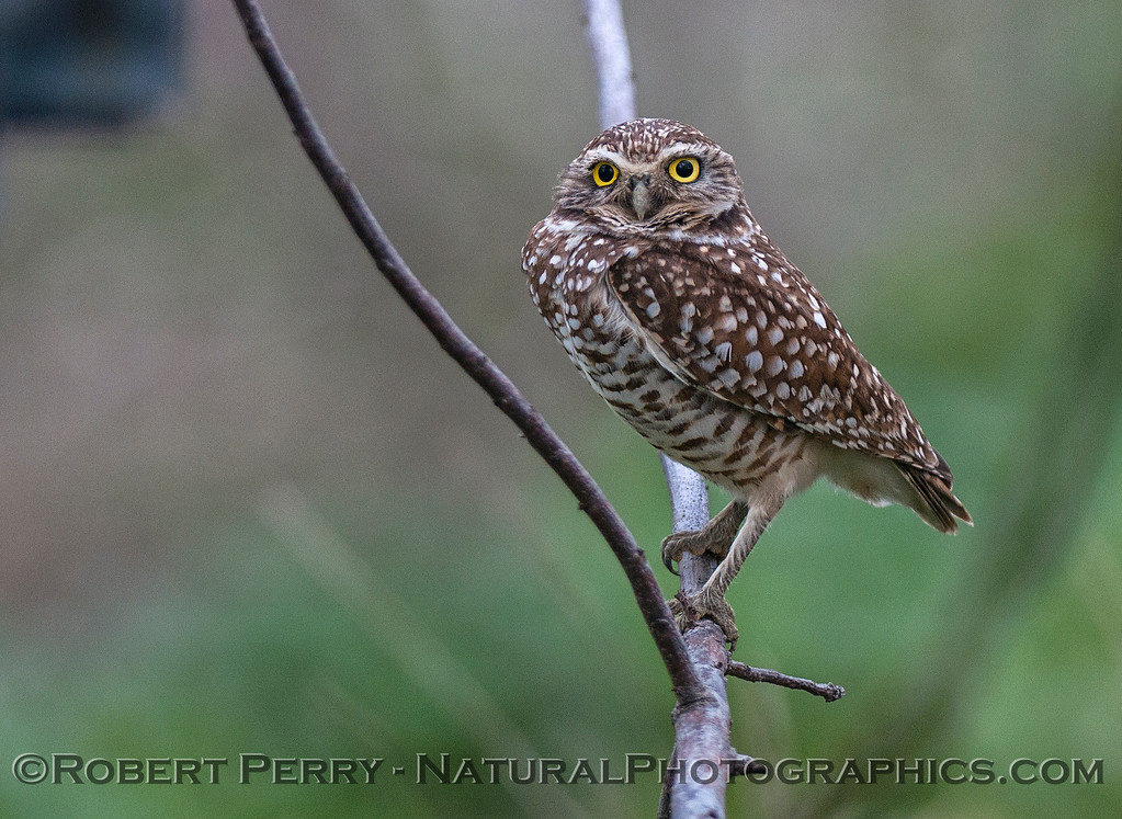 Burrowing owl on a tree branch stares at camera.