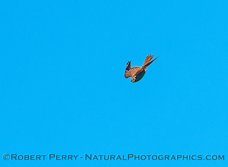 American kestrel.