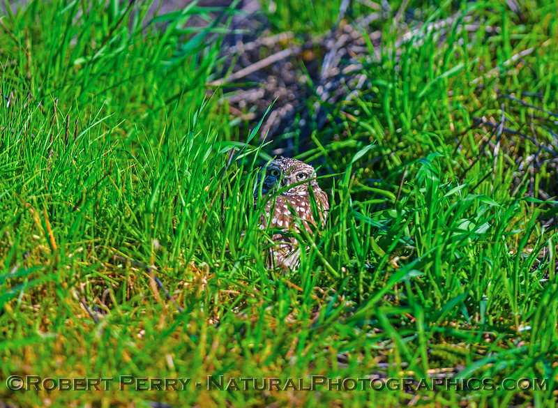 """A small burrowing owl at the """"doorway"""" to its hole.  Neck is turned around 180 to look at camera."""