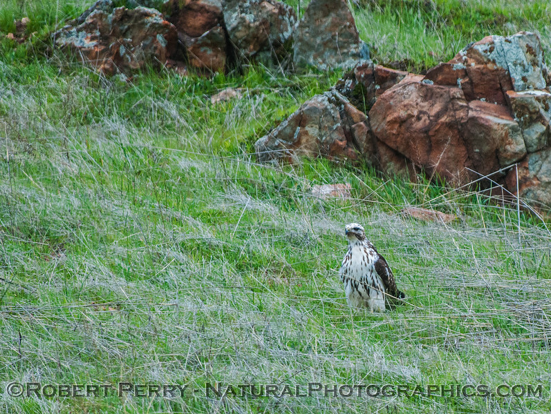 Buteo jamaicensis very white coloraton 2017 02-19 El Dorado Hills -001