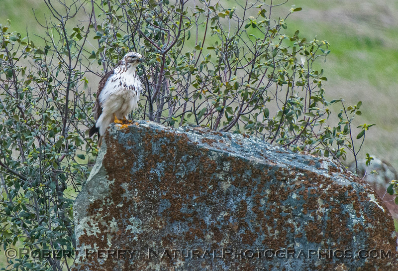 Buteo jamaicensis very white coloraton 2017 02-19 El Dorado Hills -006