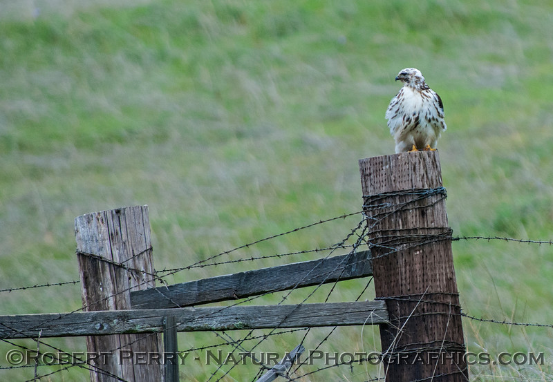 Buteo jamaicensis very white coloraton 2017 02-19 El Dorado Hills -004