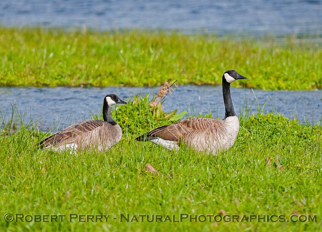 Canada geese resting near a stream