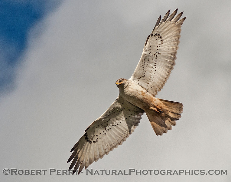 """Ferruginous hawk swooped over my head and gave me """"the stare."""""""