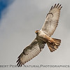 "Ferruginous hawk swooped over my head and gave me ""the stare."""