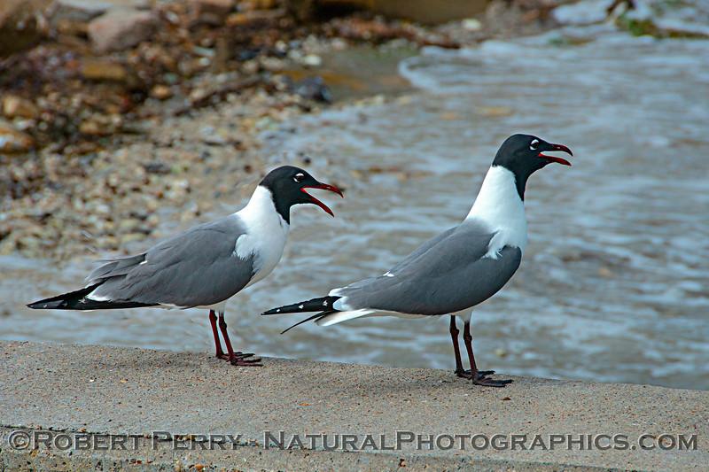 Leucophaeus atricilla Laughing gulls TWO 2017 03-15 Rockport TX