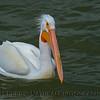 White pelican.