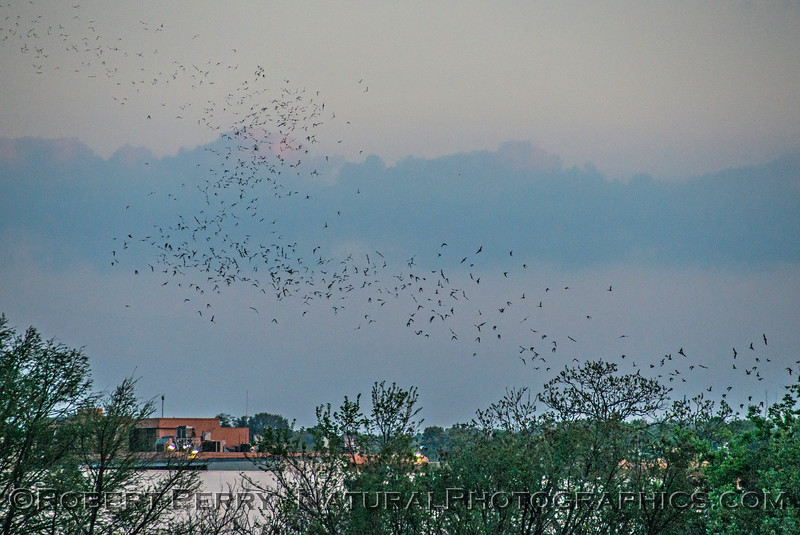 Mexican free-tailed bat murmuration.