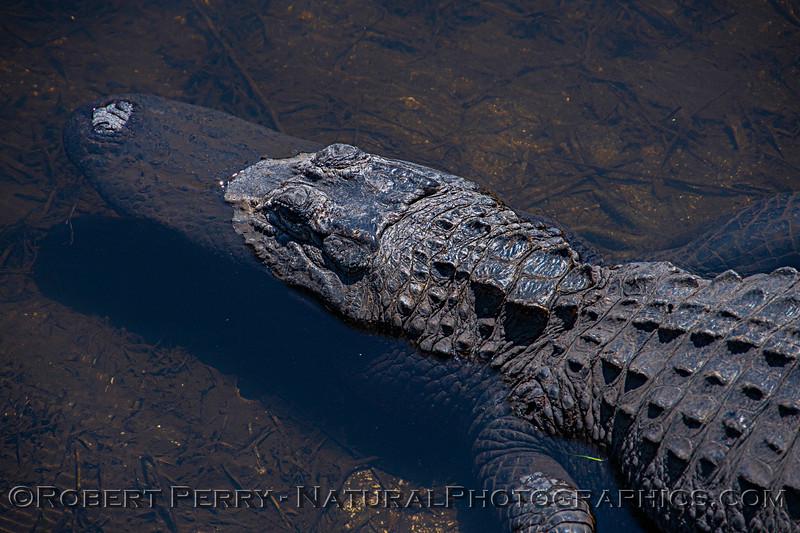 Alligator mississippiensis 2017 03-16 Aransas NWR TX-069