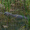American alligator - Aransas National Wildlife Refuge.
