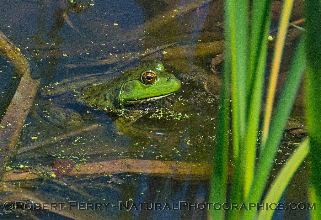 Green frog.