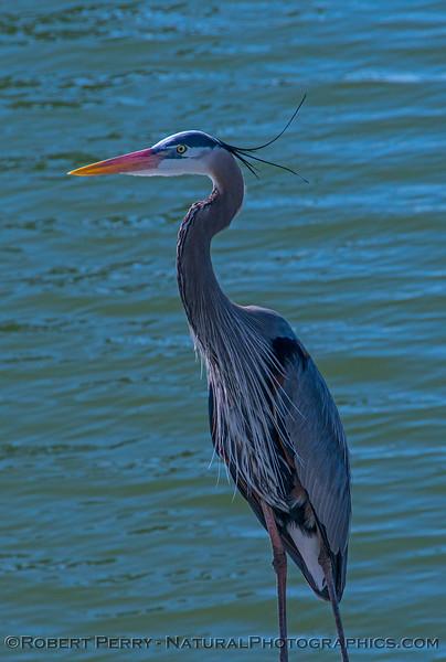 Great blue heron on dock.