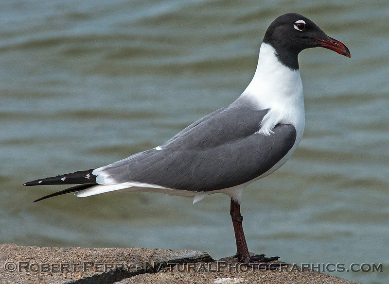 Laughing gull.