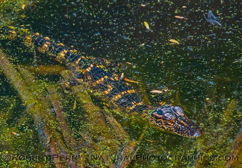 American alligator Juvenile - Aransas National Wildlife Refuge.