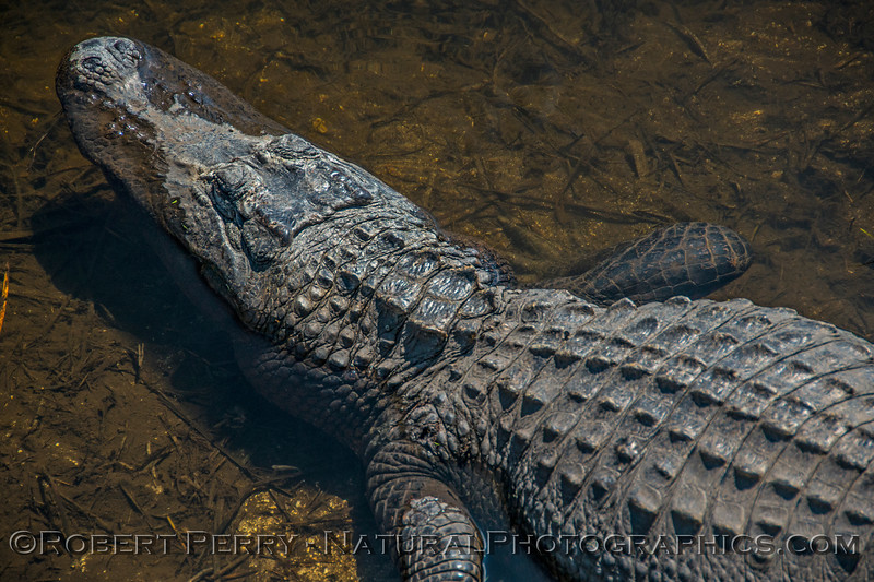 American alligator - Aransas National Wildlife Refuge.