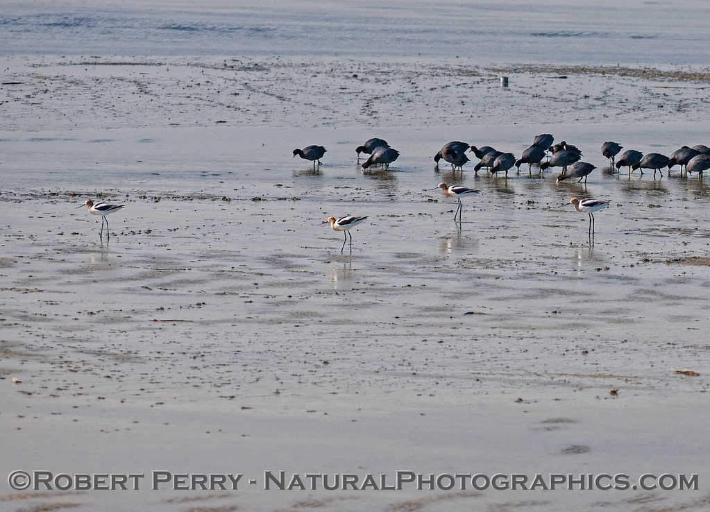 Recurvirostra americana AVOCETS & Fulilca americana COOTS on shore Salton Sea 2017 03-31 Sonny Bono NWR-003