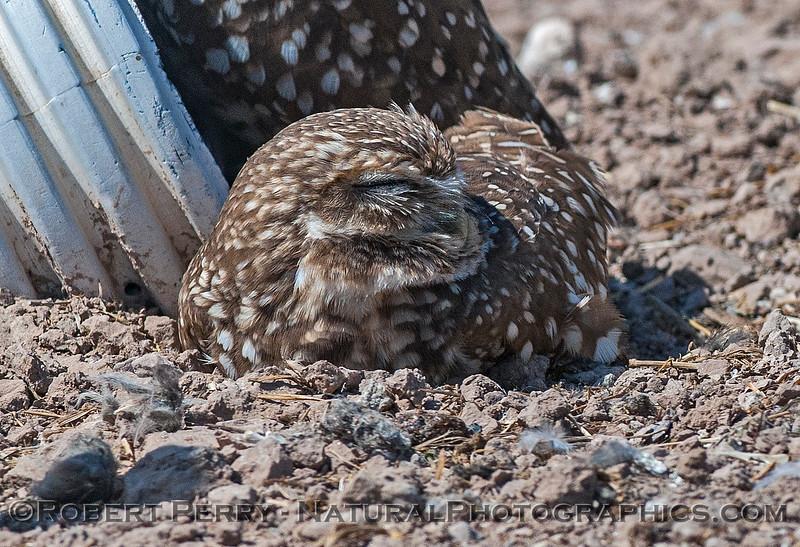 Athene cunicularia BURROWING OWLS 2017 03-31 Sonny Bono NWR-209