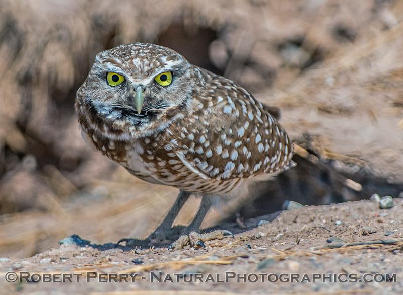 Athene cunicularia BURROWING OWLS 2017 03-31 Sonny Bono NWR-401