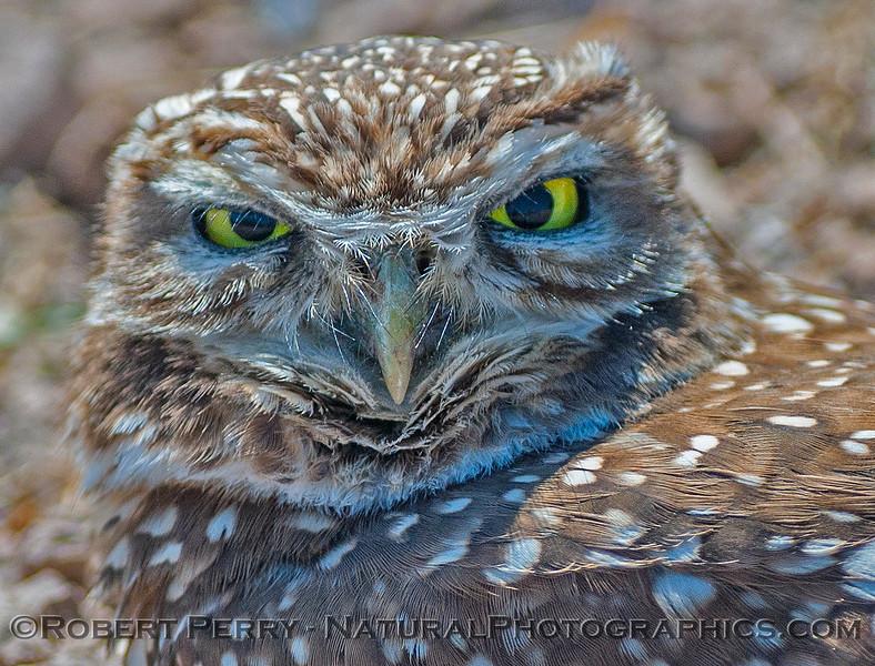 Athene cunicularia BURROWING OWL face 2017 03-31 Sonny Bono NWR-232