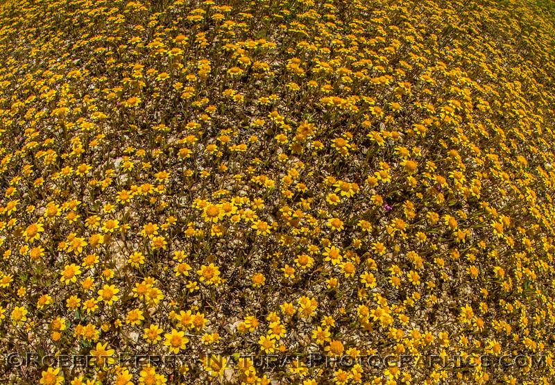 Yellow carpet of tiny flowers 2017 03-29 Antelope Vly-fisheye-003