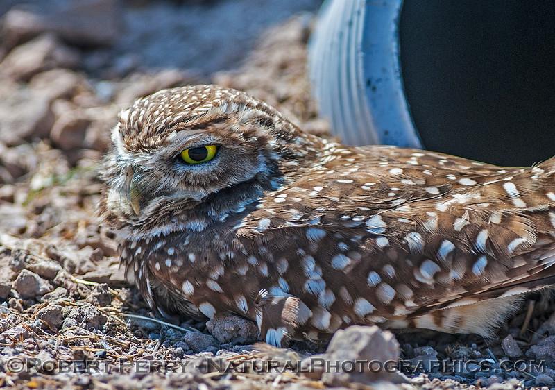 Athene cunicularia BURROWING OWLS 2017 03-31 Sonny Bono NWR-228