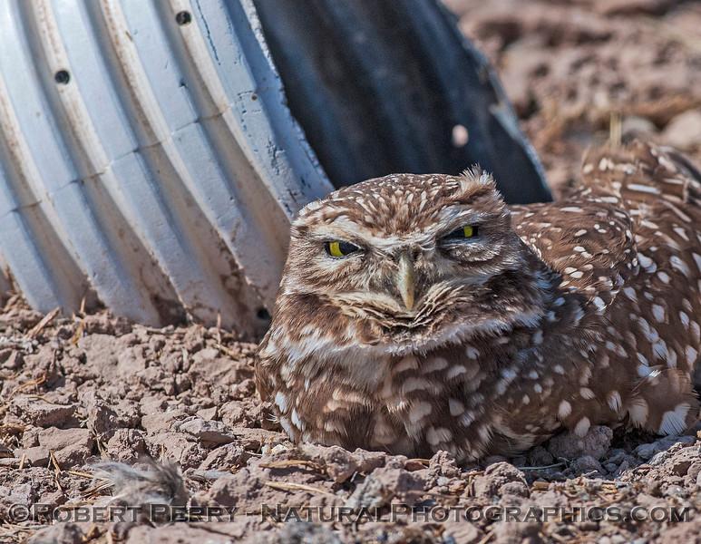 Athene cunicularia BURROWING OWLS 2017 03-31 Sonny Bono NWR-223