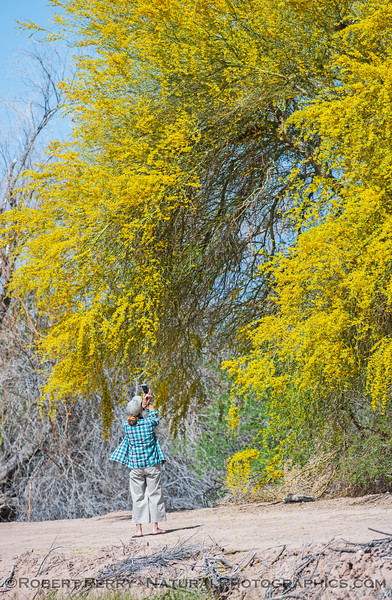 Suellen photographing blooming Parkinsonia Palo Verde tree flowers 2017 03-31 Sonny Bono NWR-005