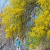 Suellen photographing blooming Parkinsonia Palo Verde tree flowers 2017 03-31 Sonny Bono NWR-005