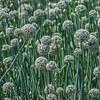 Allium cepa fields of onion seed crops 2017 03-31 Sonny Bono NWR-003