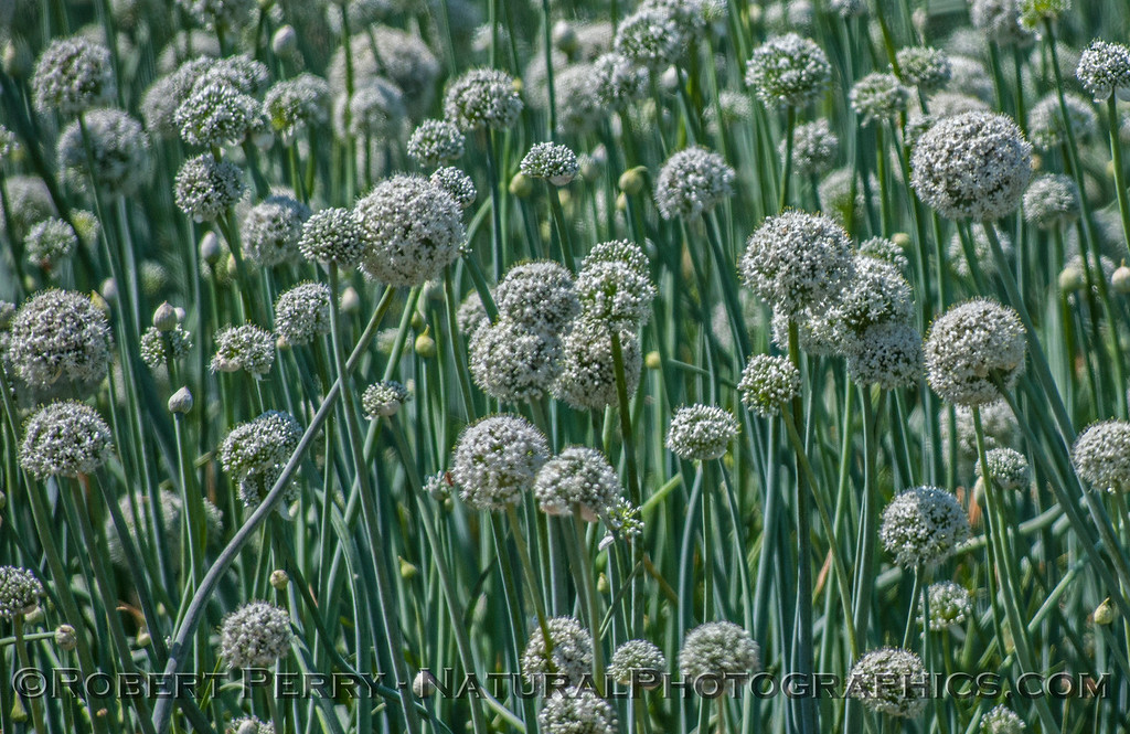 Allium cepa fields of onion seed crops 2017 03-31 Sonny Bono NWR-003