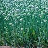 Allium cepa fields of onion seed crops 2017 03-31 Sonny Bono NWR-016